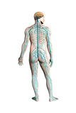 Diagram of Human Nervous System, Posterior View Posters