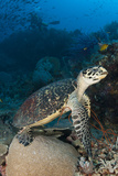 Hawksbill Sea Turtle on a Reef with Diver in the Background Reprodukcja zdjęcia