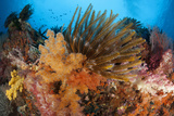 Colorful Crinoids and Soft Corals Adorn a Reef in Raja Ampat Photographic Print