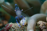 Sarasvati Anemone Shrimp, Sulawesi, Indonesia Photographic Print