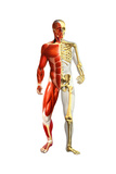 Anatomy of Male Body with Half Skeleton and Half Muscular System Posters