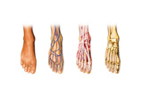 Human Foot Anatomy Showing Skin, Veins, Arteries, Muscles and Bones Prints
