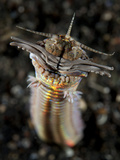 Facial and Body View of the Predatory Bobbit Worm, Indonesia Photographic Print
