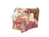 Anatomy of Human Salivary Glands Prints