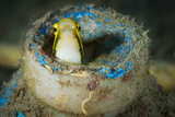 Short-Head Sabretooth Blenny Peering from a Plastic Bottle, Gorontalo, Indonesia Photographic Print