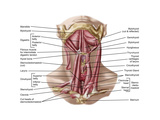 Anatomy of Human Hyoid Bone and Muscles, Anterior View Print