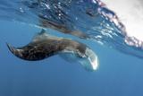 Manta Ray Off Coast of Isla Mujeres, Mexic Fotografie-Druck