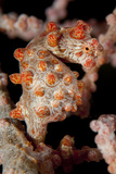 Pygmy Seahorse on Sea Fan, Lembeh Strait, Indonesi Photographic Print