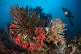 Diver Looks on at a Raja Ampat Reefscape Covered in Crinoids, Indonesia Photographic Print