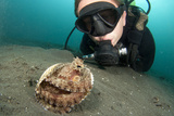 A Diver Looks at a Coconut Octopus, Lembeh Strait, Sulawesi, Indonesia Photographic Print