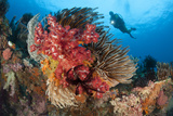 A Diver Approaches Colorful Soft Corals and Crinoids on the Reefs of Raja Ampat Photographic Print
