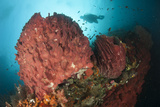 Diver Approaching Giant Barrel Sponge on a Reef, Raja Ampat Photographic Print