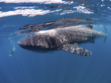 Whale Shark Feeding Off Coast of Isla Mujeres, Mexico Photographic Print