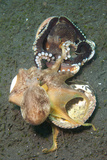Two Coconut Octopus Wrestling over Clam Shells, Indonesia Fotoprint