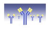 Conceptual Image of an Antibody Prints