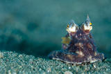A Coconut Octopus, Lembeh Strait, Sulawesi, Indonesia Photographic Print