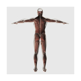 Anatomy of Male Muscular System, Posterior View Posters