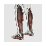 Male Muscle Anatomy of the Human Legs, Anterior View Art