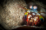 Peacock Mantis Shrimp Peering from Behind a Rock, Indonesia Photographic Print