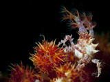 Candy Crab on Red Orange Soft Coral, Sulawesi, Indonesia Photographic Print