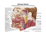 Anatomy of Human Salivary Glands Poster