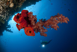 Diver Looks on at a Bright Red Soft Coral and Sponge Hanging from a Cave Photographic Print