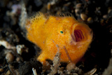 A Juvenile Hairy Frogfish, Lembeh Strait, Indonesia Photographic Print