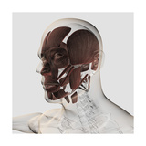 Anatomy of Male Facial Muscles, Side View Prints