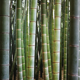 Bamboo 1 Photographic Print by  JoSon