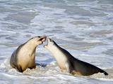 Australian Sea Lion Photographic Print by Margaret Morgan