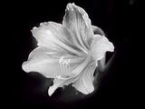 White Lilium Fotodruck von Margaret Morgan