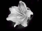 White Lilium Photographic Print by Margaret Morgan