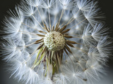 Dandelion Seed Photographic Print by Margaret Morgan