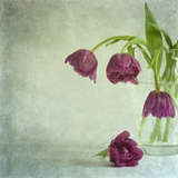 Tulips Caress Photographic Print by Doug Chinnery