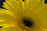Yellow Gerbera Photographic Print by Margaret Morgan