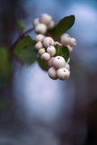 Winterberries 2 Photographic Print by Ursula Abresch