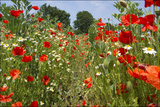 In Among the Poppies and Daisies Photographic Print by Adrian Campfield