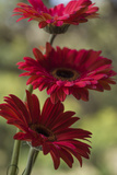 Red Gerbera Photographic Print by Margaret Morgan