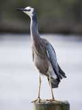 White Faced Heron Photographic Print by Margaret Morgan