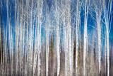 Birches in Spring Fotodruck von Ursula Abresch