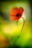Poppy Photographic Print by Ursula Abresch