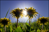 Bursting Through the Dandelions Photographic Print by Adrian Campfield