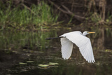 Great White Egret Photographic Print by Margaret Morgan