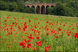 Poppies at Eynsford Photographic Print by Adrian Campfield