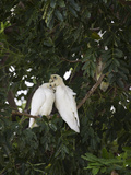 Corellas Photographic Print by Margaret Morgan