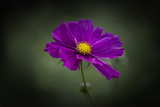 Cosmos Photographic Print by Margaret Morgan