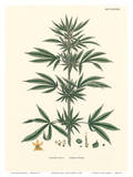 Cannabis Sativa - Common Hemp Prints by John Sowerby