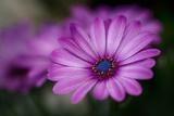 Purple Daisy Photographic Print by Ursula Abresch