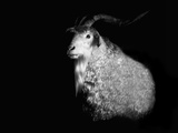 Angora Goat Photographic Print by Margaret Morgan