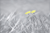 Yellow Buttercups Reproduction photographique par Adrian Campfield